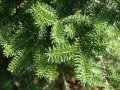 Пихта испанская  Abies pinsapo ´Aurea´ 30-40cm, ko 2,0 l