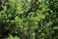 Spanish fir Abies pinsapo 'Aurea' 40-60 K10