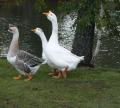 Гуси.Домашняя птица. Выращивание домашней птицы (утки, гуси). Так же предлагаем суточный молодняк различных пород домашней птицы.