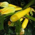 Семена кабачка Clause Мери Голд F1 1 000 семян