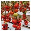 トマト種子