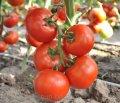 Семки от домати