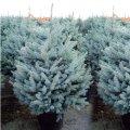 Ель колючая Picea pungens  Hoopsii   140-160 B