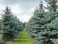 Ель колючая Picea pungens  Hoopsii   200-250 B+S