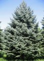 Ель колючая Picea pungens  Lucky Strike    20-60 5