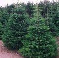 Ель колючая Picea pungens  Oldenburg    20-60 5