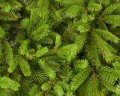 Norway spruce Picea abies 60-100 C2