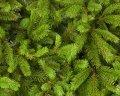 Ель обыкновенная Picea abies  60-100 C2