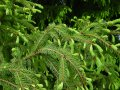 Norway spruce Picea abies Formanek 20-30 with lump