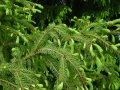 Ель обыкновенная Picea abies  Formanek   20-30 с комом