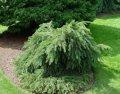 Ель обыкновенная Picea abies  Gregoryana   50-60 C20