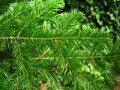 Ель обыкновенная Picea abies  Tabuliformis   50-60 C25