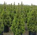 Ель сербская Picea  omorika  Linda   Привитый в Р9