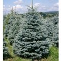Ель сербская Picea omorika  Nana  Pa 60 80-100 C18