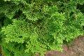 Кипарисовик Chamaecyparis obtusa  Nana Gracilis   30-40 C12