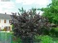 Лещина обыкновенная Corylus avellana Syrena   200-250 20