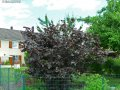 Europian filbert Corylus avellana Syrena 200-250 20