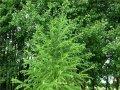 Europian larch Larix decidua Pendula Pa 100, 6-8 100-140 C8