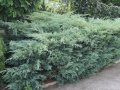 Можжевельник Виргинский Blue Arrow Juniperus Virginians  Blue Arrow   150-175 с комом