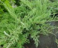 Juniper of virginskiya of Juniperus virginiana Hetz bonsai 175-200 C230