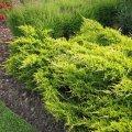 Можжевельник горизонтальный  Juniperus horizontalis  Prostrata                                    Nowość  20-60 C2