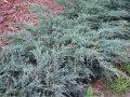 Можжевельник китайский Juniperus chinensis  Stricta   20-60 C2