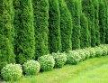 Можжевельник обыкновенный Juniperus communis  Suecica Aurea   100-120 C20