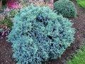 Можжевельник чешуйчатый Juniperus squamata  Blue  Star    15-20cm,ko 2,0 l