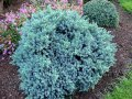Можжевельник чешуйчатый Juniperus squamata  Meyeri   200-250 B+S
