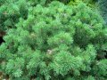 Сосна густоцветная Pinus densiflora  Oculus-draconis   20-40 C2