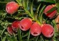 Тис ягодний Taxus baccata  Aureomarginata   20-40 C2