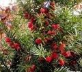 Тис ягодний Taxus baccata  Fastigiata   140-160 B+S