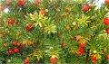 Тис ягодний Taxus baccata  Fastigiata Robusta   120-140 B
