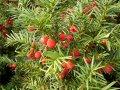 Тис ягодний Taxus baccata  Fastigiata Robusta   140-160 B+S