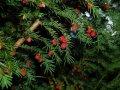 Тис ягодний Taxus baccata  Fastigiata Robusta   40-60 C2