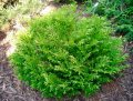 False arborvitae of Thujopsis dolabrata 20-60 C2