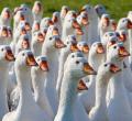 Гуси. Продажа уток , гусей. Предлагаем так же суточный молодняк домашней птицы.