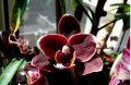 Орхідеї Фаленопсис, Мильтония, Цимбидиум і мн.ін.
