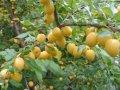 Алыча Prunus cerasifera  Woodii  B