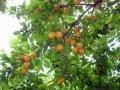 Алыча Prunus cerasifera  Woodii  B+S
