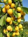 Алыча Prunus cerasifera  Woodii  C10-12