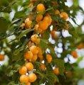Алыча Prunus incisa  Midori-zakura  C5-8