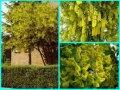 Бобовник Laburnum anagyroides C1,5-2
