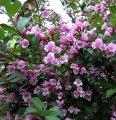 Veygela the blossoming Weigela Bristol Ruby C4