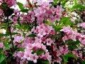 Вейгела цветущая Weigela  Bristol Ruby  C5