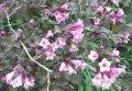 Вейгела цветущая Weigela  Nana Variegata  C1,5-2