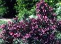 Veygela the blossoming Weigela Pink Poppet PBR C1,5