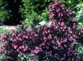 Вейгела цветущая Weigela  Pink Poppet  PBR C1,5