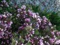 Veygela the blossoming Weigela Red Prince C1,5