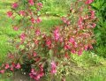 Veygela the blossoming Weigela Snowflake C4